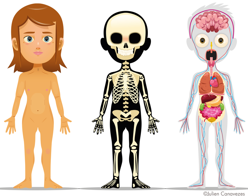 illustration of human body skeleton and organs