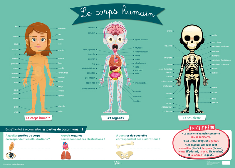 Human body skeleton and organs medical poster