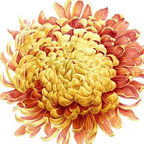 De l'illustration publicitaire à la passion pour l'aquarelle botanique