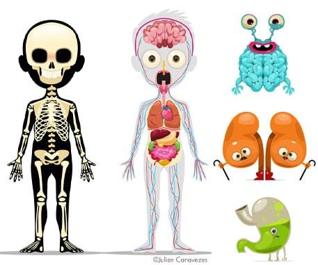 Illustrateur médical dessin d'organes et squelette du corps humain